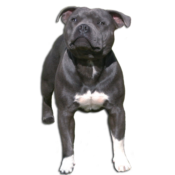 About the staffordshire bullterrier